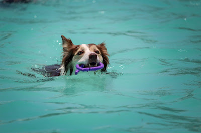 A brown and white dog is in a blue pool with a purple toy in it's mouth