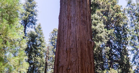 Giant Forest in Sequoia National Park
