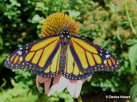 Male Monarch butterfly has thinner veins and a black spot on hind wings - © Denise Motard