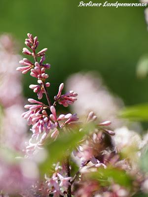 Ungarischer Flieder: Garten im Mai