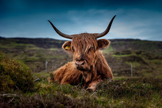 A ginger highland cow lying down in a hilly pasture.