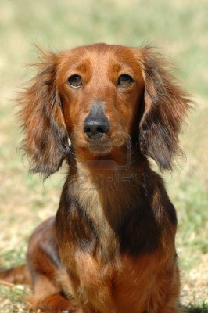 Cute Dogs Dachshund Dog