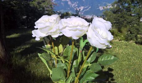 The White Rose is Not Just Another Flower