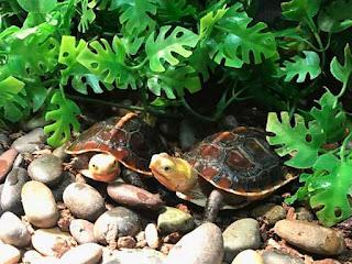 merawat-kura-kura-china.jpg
