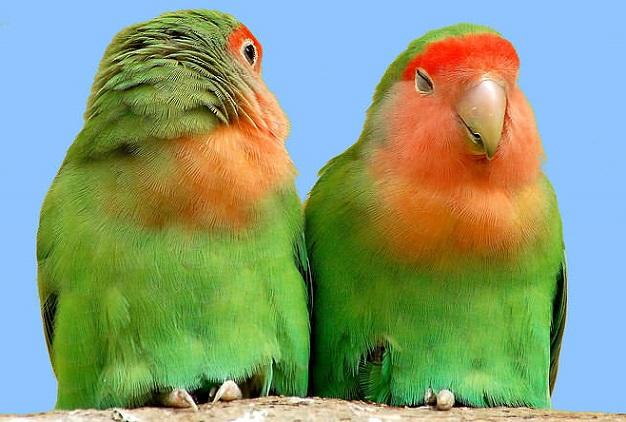 budidaya burung lovebird