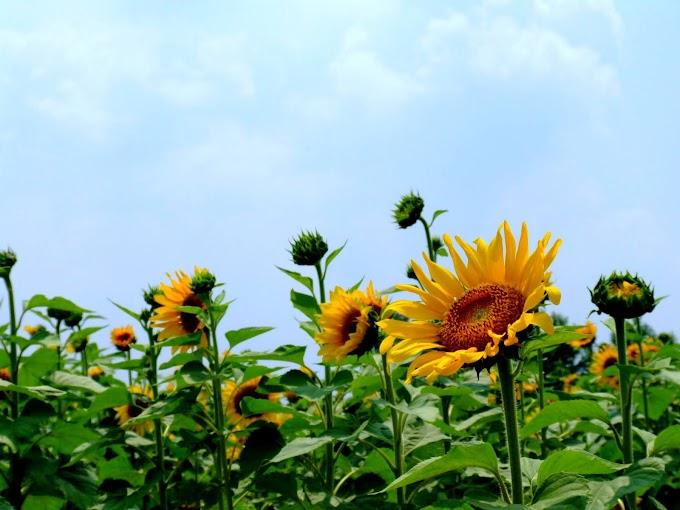 148 #ヒマワリ #花 #向日葵 #黄色