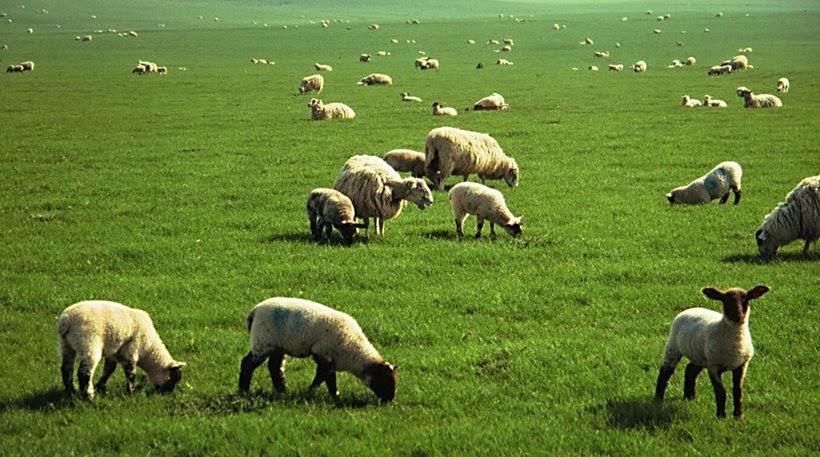Αγέλη σκυλιών κατασπάραξε πρόβατα στον Αμπελώνα