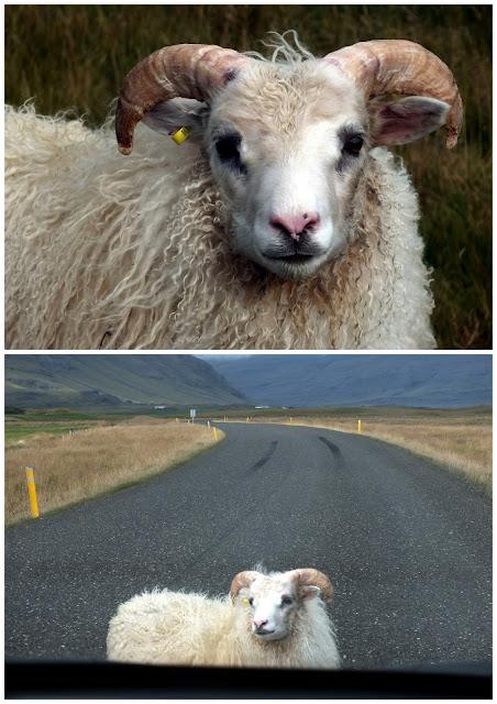 ovejas en Islandia en la carretera