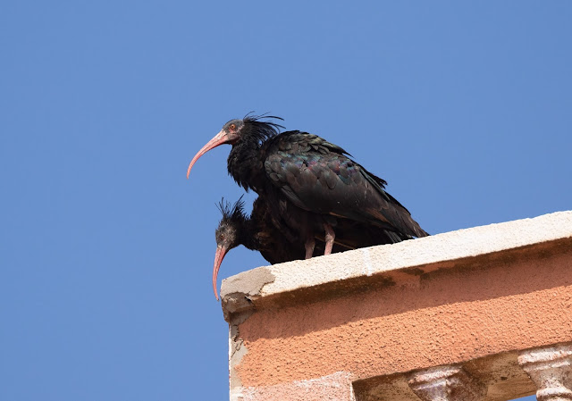 Northern Bald Ibis - Sidi Wassay, Morocco