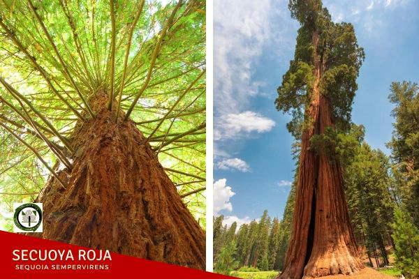 Secuoya roja, Sequoia sempervirens, o de secuoya de California es la única Secuoia auténtica