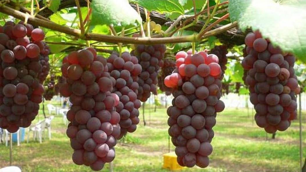 10 benih biji buah anggur merah Lampung
