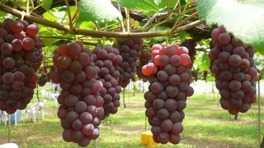 10 benih biji buah anggur merah Pagaralam
