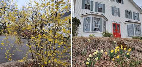 Side-by-side photos of forsythia (left) and daffodils (right)