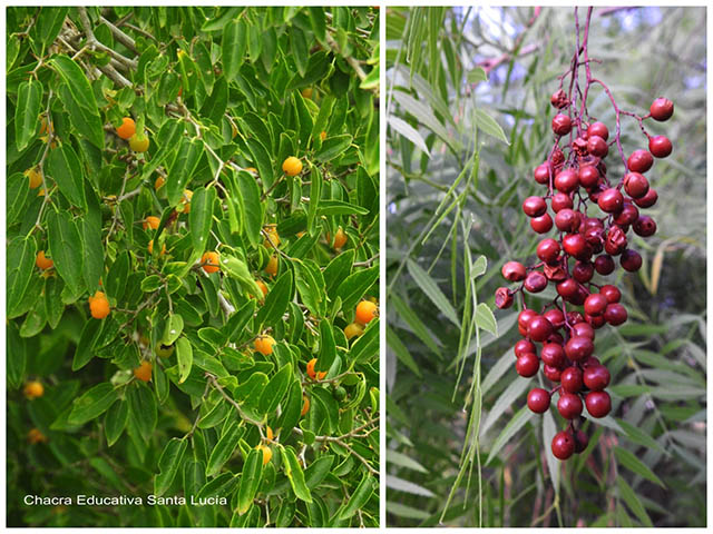 Frutos de tala y de anacahuita -Chacra Educativa Santa Lucía
