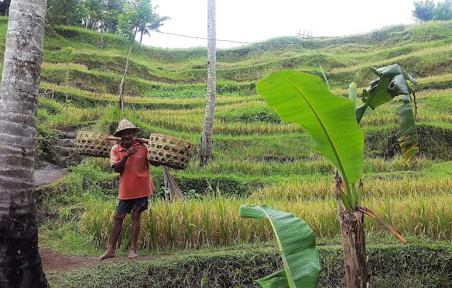 Reisfarmer Tegalalang
