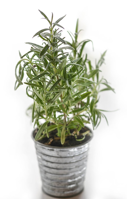 fresh rosemary growing in a pot