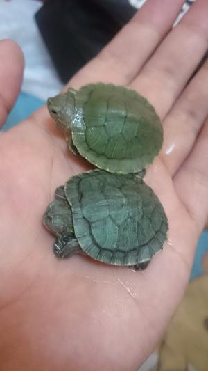 Pasti Banyak yang Pengen, Pembantu Ini Digaji 32 Juta Hanya Untuk Bersihkan Kura-kura