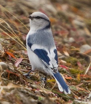 Azure tit bird song mp3