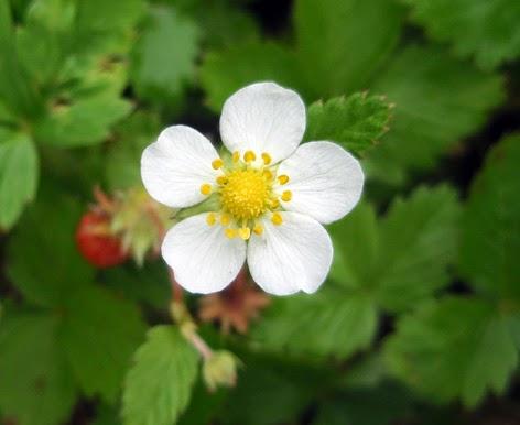 Fresa silvestre (Fragaria vesca) flor blanca