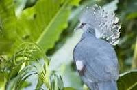 FICHA TÉCNICA DO POMBO-GOURA VITORIA: Reino: Animalia Filo: Chordata Classe: Aves Ordem: Columbiformes Família: Columbidae Gênero: Goura Espécie: G. victoria Nome científico: Goura victoria