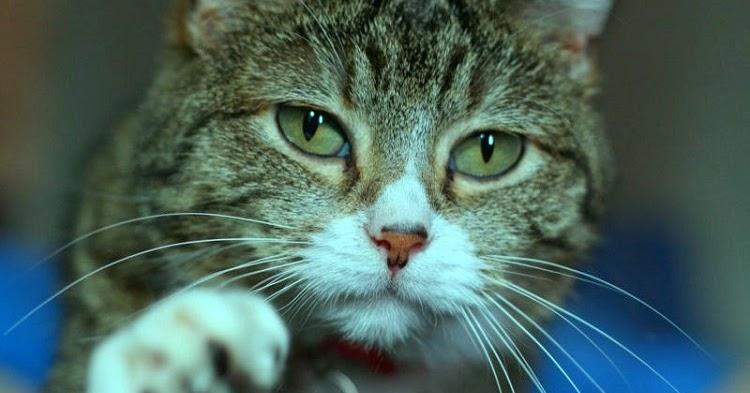 Sejarah Biologi Klasifikasi Kucing