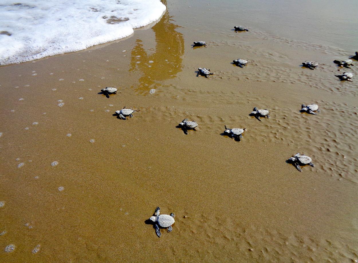 Turtle hatchling on the shorelines