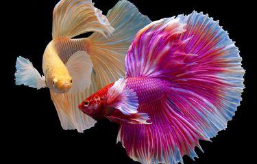 8+ Jenis Makanan Ikan Cupang agar Warnanya Cerah dan Bagus
