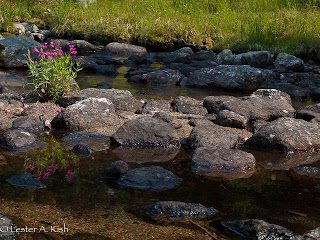 Pink monkeyflower reflecting in a stream