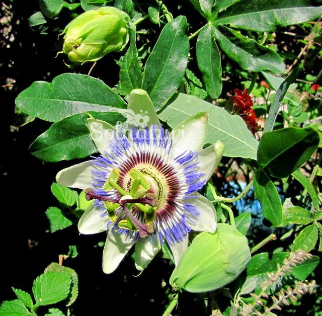 Passiflora caerulea  Pasionaria – Mburucuyá