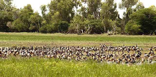 Australian waterbirds
