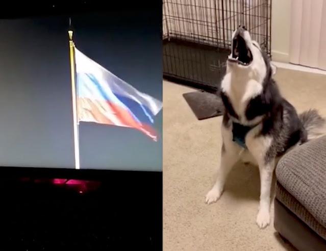 В Сети нашёлся хаски, который наизусть знает гимн России. Правда, живёт он почему-то в Штатах