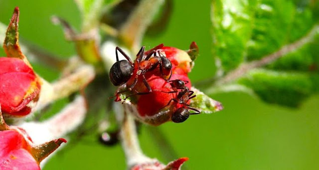 New ants look after plant diseases, says new study