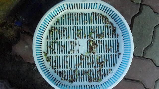 วิธีปลูกผักบุ้งจีนในตระกร้า