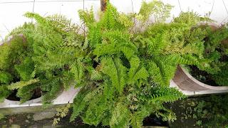 suplir tanaman hias daun indah dan top