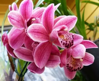 Cymbidium Orchid Plants are Cool