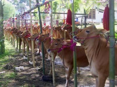 Sapi Madura Sapi Lokal Unik Di Indonesia