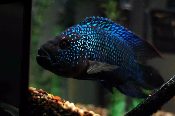 Best Jack Dempsey Fish Cichlids Care Guide in The Aquarium