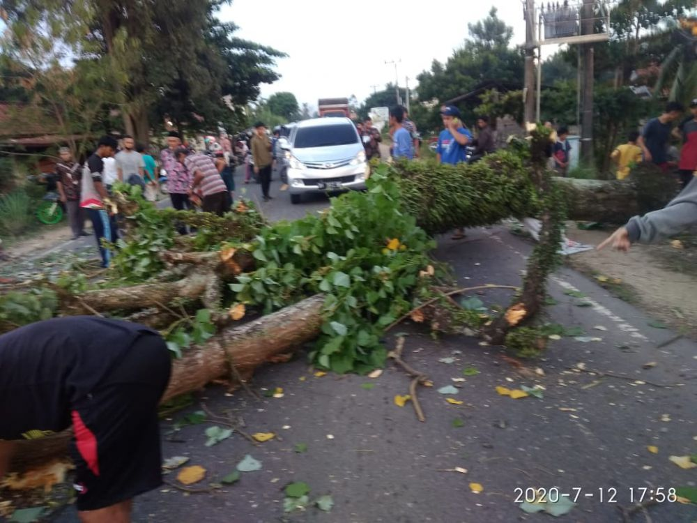 Pohon Tua di Sekernan Tumbang, Seorang Pengendara Motor Jadi Korban