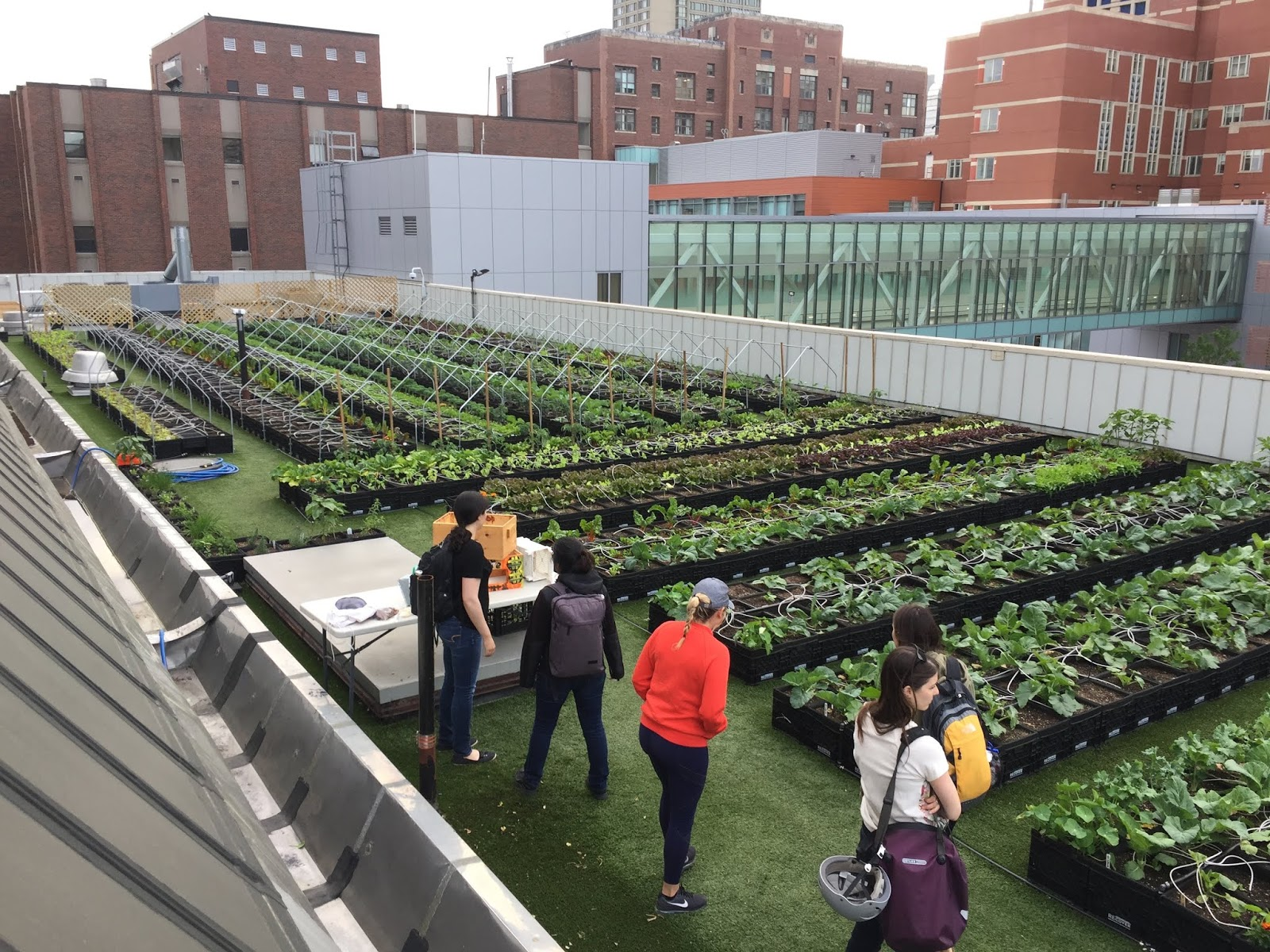 The Roof Top Garden At Boston Medical Center Serves Many Functions,  Including Providing Vegetables, Such As Tomatoes, Carrots, And Kale For  Their Cafeteria, ...