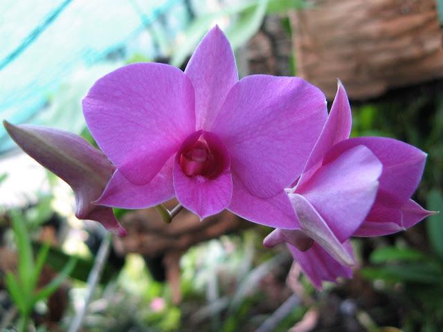 Orquídea mariposa (Dendrobium bigibbum var. superbum)
