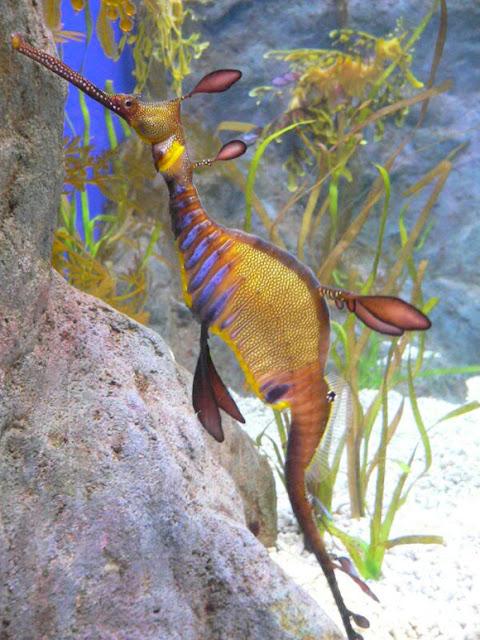 أروع المخلوقات:تنين البحر image0045.jpg