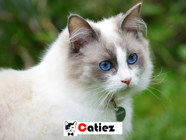 ragdoll cat - all you want to know about ragdoll cats