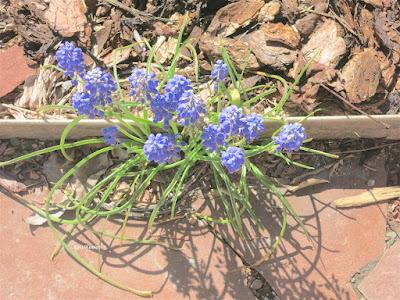 grape hyacinth in the walk
