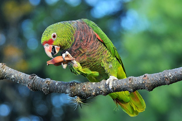 Amazona vinacea