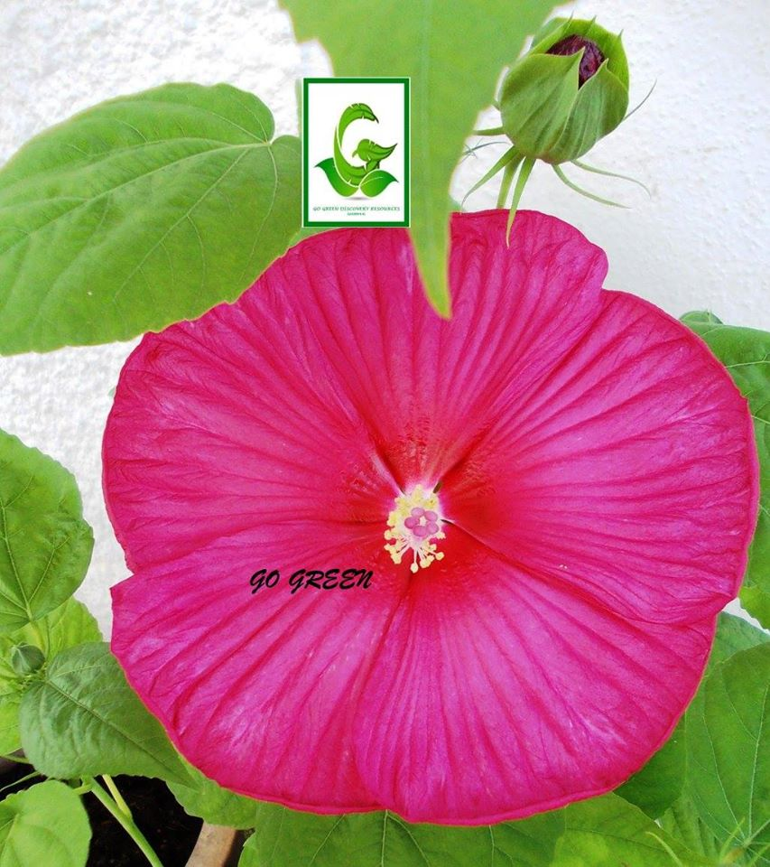 Gogreendiscovery hibiscus seeds cuttings and plants for sale hibiscus disco belle luna rose izmirmasajfo