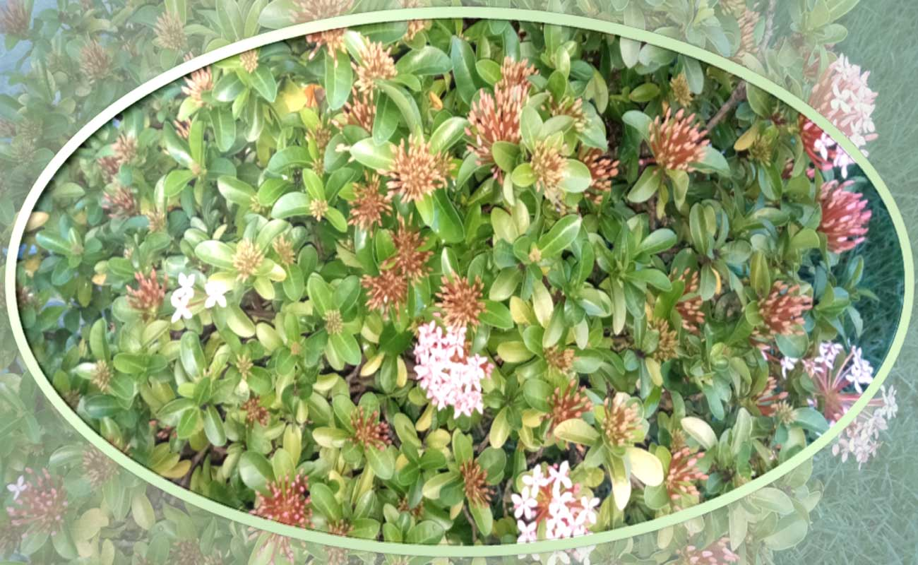 Bunga Asoka Mini Tanaman Hias Pilihan Meskipun Daerah Tropis