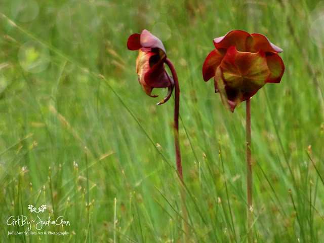 Newfoundland Northern Pitcher Plant 6 Photos + Video