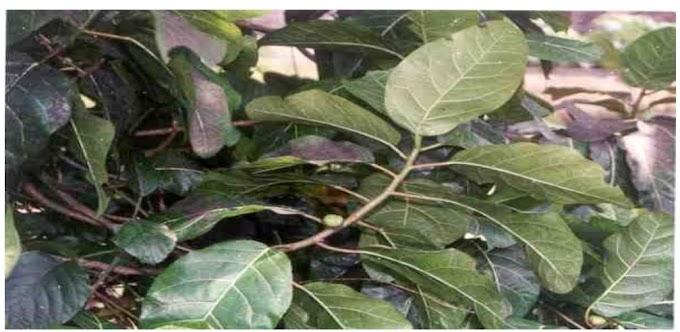 10 Daftar Flora Herbal Indonesia. Beserta Khasiat Dan Cara Pengolahanya