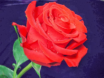 amaging red rose with water perls