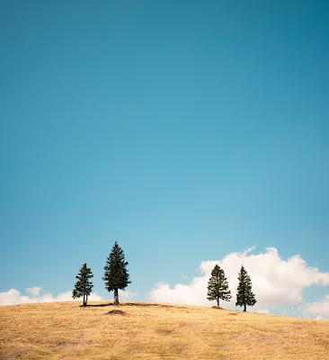 Pohon pinus keren dengan komposisi seimbang